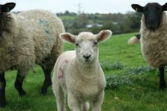Lamb in field (Megan Tregoning) Tags: lamb spring ewe suffolk countryside livestock farming field green white baby animal