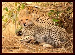 CHEETAH CUB (Acinonyx jubatus).....MASAI MARA....OCT 2015 (M Z Malik) Tags: nikon d3x 200400mm14afs kenya africa safari wildlife masaimara maraserena exoticafricanwildlife exoticafricancats flickrbigcats cheetahcubs cheetah ngc