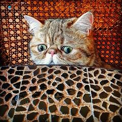 My friend's cat saying hi #cat #chat #cute #funny #drole #hello #portrait #music #musique #benheinephotography #colorful #pet #eyes (Ben Heine) Tags: benheinephotography photography composition light smartphone nature landscape beauty beautiful photo photographie art ifttt instagram benheine horizon benheineart