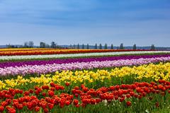 Tulip Fields (Thatseattlephotog) Tags: tulips tulipfestival flowers washington