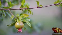 _DSC0342_MD (paulomarquesfotografia) Tags: bokeh pomegranate a7 sony f28 albinar super tree romã beyondbokeh