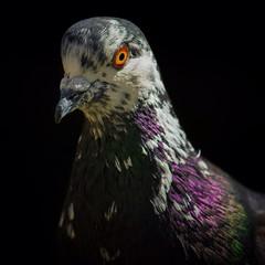Pigeon (Eva O'Brien) Tags: pigeon wildlife nature colors evacares evaobrien nikon birds animals pigeons bird