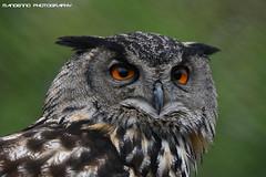 European eagle owl - Zie-Zoo (Mandenno photography) Tags: dierenpark dierentuin dieren animal animals eagle owl european owls ziezoo nederland ngc netherlands bird birds