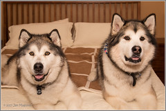 Kafka and Freya 6118 (maguire33@verizon.net) Tags: malamute canine dog pet