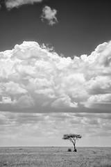 The Serengeti (virtualwayfarer) Tags: serengeti tanzania eastafrica easternafrica tanzanian nationalpark wild safari adventuresafari adventure wildlife greatmigration nature landscape mara simiyu migration unesco unescoworldheritage heritage canon canon6d acacia acaciatree lonetree simplicity simple