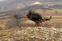 Start. (Oberhexe) Tags: bird wings fly brown winter desertbuzzard wüstenbussard flügel fliegen braun österreich austria burgenland