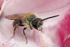 Male miner bee in rhododendron flower #1 (Lord V) Tags: macro bug insect bee minerbee