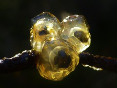 Spawn on a stick?..x (Lisa@Lethen) Tags: spawn frog toad stick dry jelly nature wildlife spring