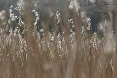 Img_6674 (steven.heywood) Tags: leightonmoss reed
