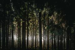 light in the dark   l   part 2   l   2017 (weddelbrooklyn) Tags: wald baum bäume landschaft natur licht schatten holz tannen tanne grün lichtung nikon d5200 wood woods tree trees nature light shadows firs green dark