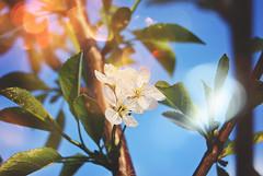 Blossom (Sareni) Tags: sareni serbia srbija vojvodina banat juznibanat alibunar sm blossoms blossom cvet light svetlost colors boje leaves branche list grana spring prolece april 2017 twop