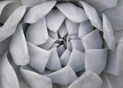 Dudleya pulverenta (MGormanPhotography) Tags: dudleya pulverenta crassulaceae succulent perennial liveforever white silver chalk foliage