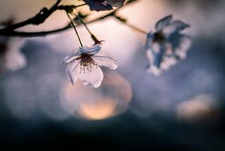 桜ー夕照ーCherry blossoms of the glow of the sunset