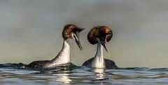 Love is . . . (hardy-gjK) Tags: grèbe huppé great crested grebe waterbirds birds vögel oiseaux natur hardy nikon water lake etang