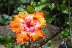 2017 Hawaii-196 (Michael L Coyer) Tags: hawaii2017 flower blossom fruit waimea waimeavalley