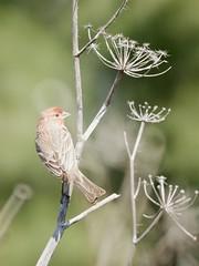 limit of the comfort zone (Riex) Tags: finch pinson bird oiseau animal twig fennel fenouil a900 amount minoltaamount maxxum af reflex 500mm f8 telephoto lens mirror catadioptric sal500f80 miroir optiqueamiroir