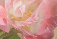 Vårkänslor (Explore 2017-04-16) (nillamaria) Tags: fs170416 varkanslor fotosondag tulpan tulip sun sol