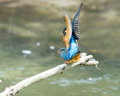 Sammy and Jules (candaphotography) Tags: kingfisher bird birds uk nature sony 70400g2 wiltshire mating beak wildlife