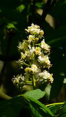 Horse chestnut flower candelabra (Dave_A_2007) Tags: chestnut flower horsechestnut nature plant tree wolverhampton westmidlands england