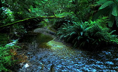 Deep in the FOREST (Lani Elliott) Tags: nature naturephotography bush forest green plants foliage water creek ferns scene view scenic scenictasmania lush verdant australia tasmania strahan