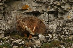 A Good Scratch (Derbyshire Harrier) Tags: brownhare limestone 2017 whitepeak april peakdistrict peakpark derbyshire female jill easter