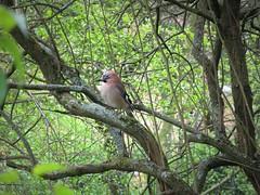 IMG_7239_Fotor01 (Ela's Zeichnungen und Fotografie) Tags: hannover landschaft natur tier vogel eichelhäher baum äste sonnenlicht blätter