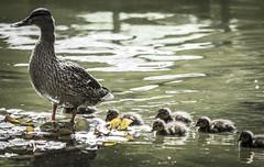 Mama pata (seguicollar) Tags: pájaro crías pollitos patitos pato camada primavera agua water jardínbotánicomadrid nikond7200 virginiaseguí