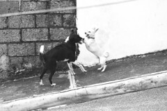 Two dogs (angel_mendez95) Tags: canon rebel t5i 700d república dominicana rd dogs fun play playing el seibo blackandwhite show photography chihuahua buenosaires pasion loveit photo jpg street