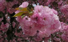 Farewell, cherry blossom! (langkawi) Tags: japanische blütenkirsche kanzan kwanzan rosa pink double gefüllt cherry blossom bloom