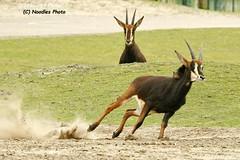 Speed King (Noodles Photo) Tags: rappenantilope sableantelope beeksebergen safariparkbeeksebergen hippotragusniger antelope antilope bovidae hornträger safaripark zoo niederlande canoneos1dmarkiii ef100400mmf4556lisusm