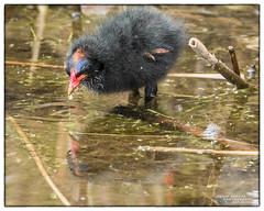ARKLOW DUCK POND 2017 (philipmaeve12) Tags: birds wildlife arklow duck pond