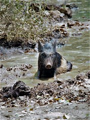 wild hog taking a bath (bearlike1) Tags: indian new delhi city animals hog pig bath mud water mammals travel travelling black white monument historical wildlife nature natural awesome amazing wonderful beautiful wild