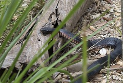 Red-bellied black snake copyright Rosie Nicolai_1A4A3162 (Happy days 09) Tags: redbelliedblacksnake red belly black snake reptile native australia newsouthwales nsw pseudechis porphyriacuselapidvenomousserpentdangerdangerousheadpoisonousred snakenative eastern copyrightrosienicolai
