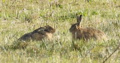 brown hares Lepus europaeus leporidae (BSCG (Badenoch and Strathspey Conservation Group)) Tags: mammal hare lepuseuropaeus cnp spring