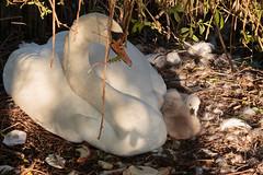 Springtime: little birds (H. Bos) Tags: lente springtime birds watervogels geboren birth zwanen swans babyzwaan babyswan nature cute