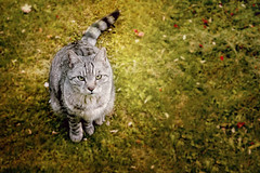 good neighbor :) (clo dallas) Tags: neighbor good cat feline nature pets gatto vicinodicasa buonvicino animalidomestici sony 55mm