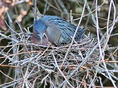 Green Heron incubating nest 6 20170422 (Kenneth Cole Schneider) Tags: florida miramar westmiramarwca