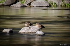 Efecto Seda (NatyCeballos) Tags: rio agua naturaleza efectoseda pato nikond7000 largaexposición filtrosnd longexposure longexposition nature water santarosa
