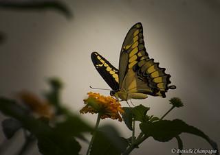 Porte queue thoas - Papilio thoas DBC_2176w
