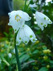 Frühlingsknotenblume (Jörg Paul Kaspari) Tags: trier pallien garten garden spring frühling märzenbecher leucojum vernum leucojumvernum blüte flower weis weise white bulb