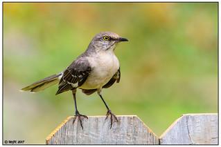 Northern Mockingbird DSC_8488