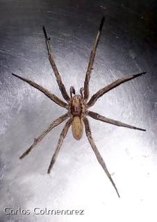 Araña lobo (Fam. Lycosidae)