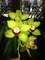 Cheney Cymbidium (Men In Black) Tags: flowers plants orchids uploaded:by=flickrmobile flickriosapp:filter=nofilter