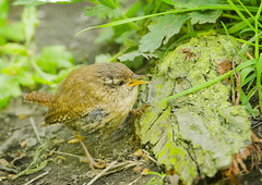 Fledged wren chick (Greeeny) Tags: birds yorkshire birding leeds wren fledgling churwell