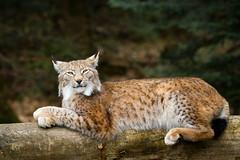 lying on a tree (Cloudtail the Snow Leopard) Tags: wildpark pforzheim tier säugetier animal mammal katze cat feline luchs lynx eurasischer nordluchs cloudtailthesnowleopard
