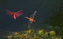 Crimson Dropwings : Courting . . . (Clement Tang ** Busy **) Tags: travel autumn male female insect hongkong inflight stream dragonfly wildlife newterritories nationalgeographic courting macrophotography libellulidae crimsondropwing trithemisaurora closetonature fungyuenbutterflyreserve crimsonmarshglider specinsect concordians
