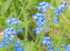 Forget Me Nots               .....................press L for best view... (imageClear) Tags: flowers blue flower macro nature closeup wisconsin garden flora nikon flickr pretty image sheboygan petite photostream perennial dainty forgetmenots nikon18200mm d7000 imageclear
