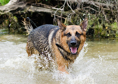 Branko Swims 2013-06-07-11 (falon_167) Tags: dog shepherd german gsd germanshepherddog branko