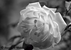 _MG_5930_edited-2 (plw1053) Tags: blackandwhite white flower rose flora monotone infrared 50mmf14 canon600d