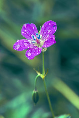 (Varvara_R) Tags: pink flower colour macro waterdrop diamondclassphotographer flickrdiamond